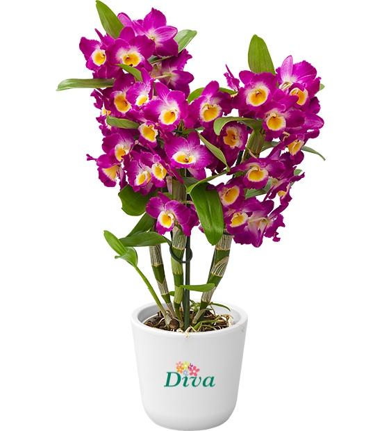 Dendrobium kokulu orkide pembe